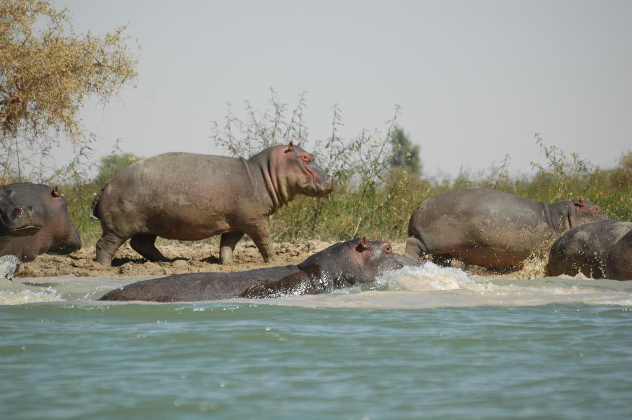 Hippopotames dans le fleuve Niger